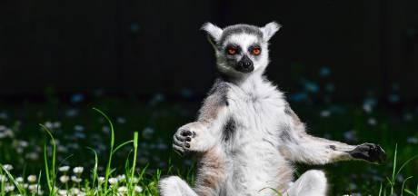 Tiener steelt ringstaartmaki uit dierentuin Californië omdat hij een huisdier wilde