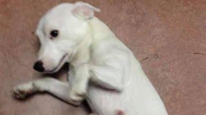 Wandelaar steelt hond 'Witteke' uit dierenasiel De Zorghoeve