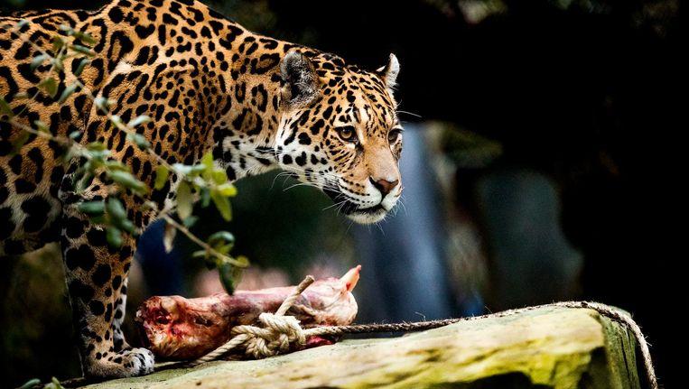 Op een rotspartij, een paar meter van de toeschouwers, laat de jaguar zich van dichtbij bewonderen. Beeld anp