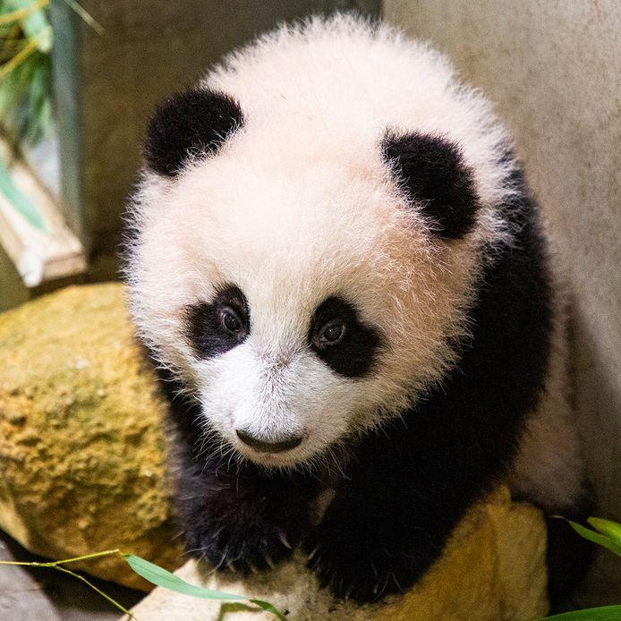 Pandababy Fan Xing.