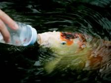 Door brand gedupeerde handelaar in koikarpers uit Coevorden brengt vissen onder in Gelderland (en zoekt andere locatie)