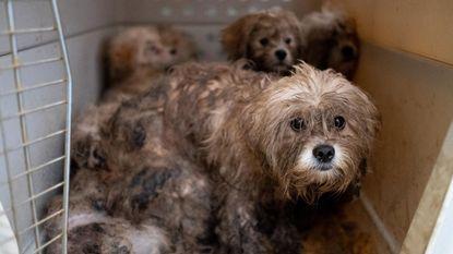 Dierenwelzijn redt zeventien honden: woning vol uitwerpselen