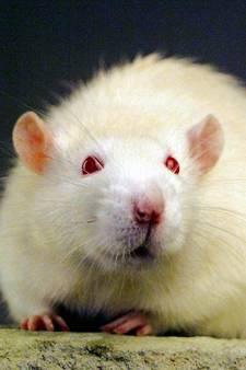 Ratten en botulisme in Gorcumse waterplassen