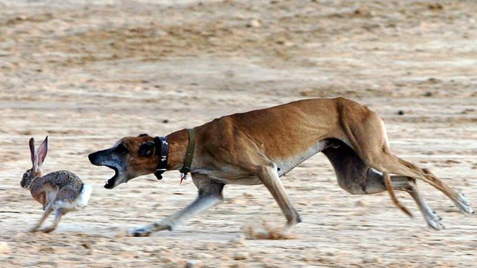 Het stropen van wild met hazewindhonden is strafbaar.