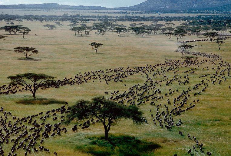 Gnoes op hun jaarlijkse migratie over de savanne van de Serengeti. Beeld Getty Images