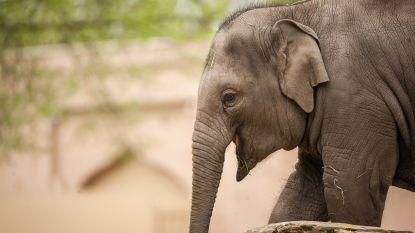 """Gestorven olifantje Qiyo wordt """"ambassadeur van strijd tegen olifantenherpes"""""""