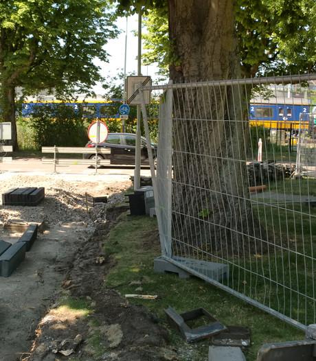 Wortels boom flink gekort voor aanleg centrumring, is boom nog stabiel genoeg?