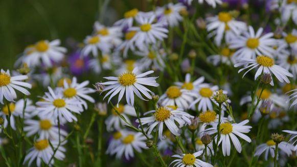 Kalimeris (Kalimeris incisa 'Madiva') - Hoogte: 80 cm - Bloei: licht lila, juni-september - Grond: normaal (tot kalkrijk) - Zon - IJzersterke plant met eindeloze bloei.