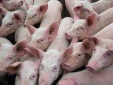 Kleine 1000 varkens erbij in Deurne: uitbreiding veehouderij goedgekeurd