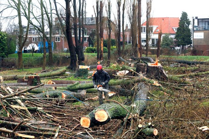Tientallen populieren zijn omgezaagd om te voorkomen dat ze bij een volgende storm omvallen.