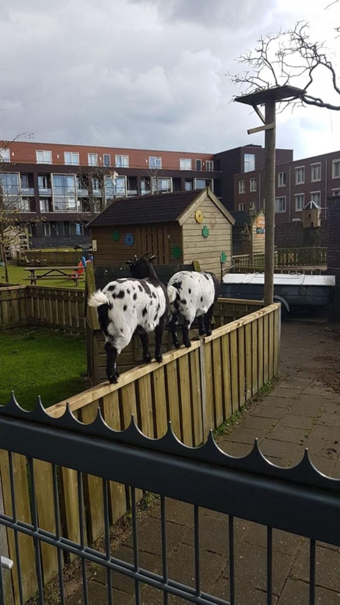 Een van de geitjes in kinderboerderij de Geitenwei in Boxtel is overleden na het eten van voedsel dat over het hek van dekinderboerderij is gegooid.