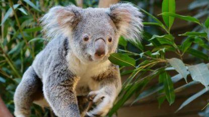 Opnieuw koala gestorven in Pairi Daiza: nog maar één dier over