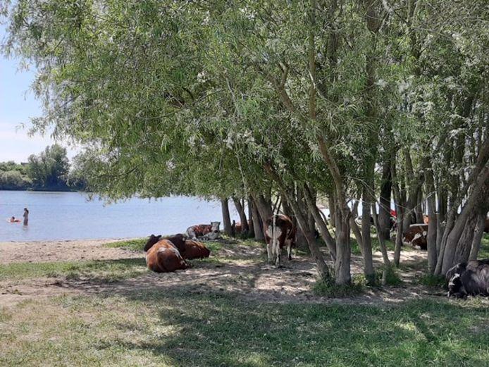Koeien onder de bomen in Wageningen.