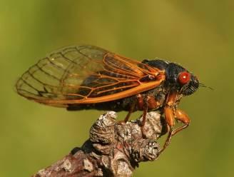 Miljarden cicaden komen na winterslaap van 17 jaar allemaal samen uit de grond aan Amerikaanse oostkust