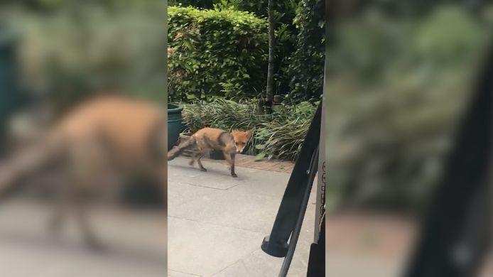 Een vos heeft in Oosterbeek meerdere kippen gedood. Videostill.