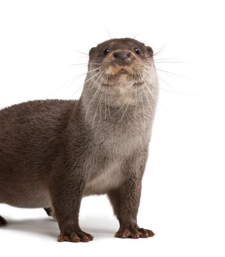 Nieuwkoopse otter verspreidt zich steeds verder: dier vindt nu ook tunnel naar Wilnis