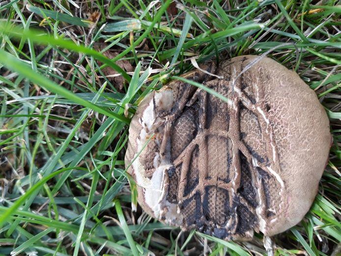Tja, soms worden paddenstoelen overreden. Toch blijft het een bijzonder plaatje, die Henk-Jan Schoonbeek uit Breda schoot. Hij nam de moeite om het te fotograferen bij het park bij hem in de buurt van Norwich (VK).