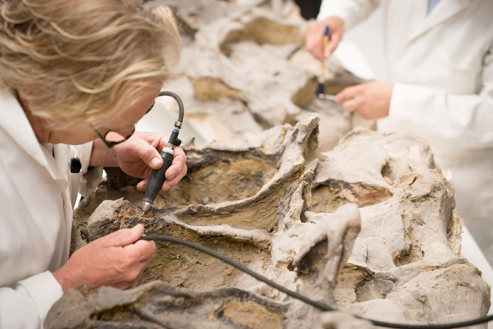 Botten van de diplodocus Kirby worden vrijgemaakt van stenen omhulsel.