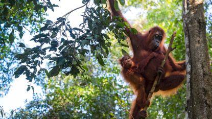 Planckendael verbouwt Aziatische serre voor komst orang-oetans