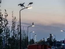Ooievaars overnachten op Veenendaalse lantaarnpalen