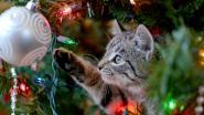 Opgelet, die kerstboom in huis kan gevaarlijk zijn voor honden en katten