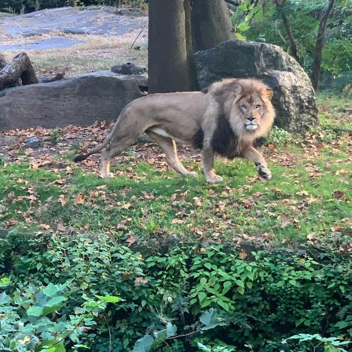 Le lion du zoo du Bronx