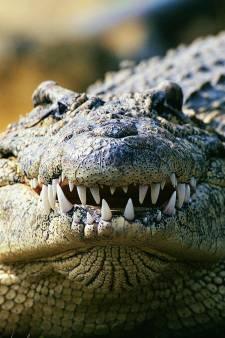 Un Australien se libère des mâchoires d'un crocodile en le piquant dans les yeux