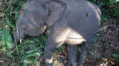 """Jong dwergolifantje op Borneo doodgeschoten """"uit wraak"""""""