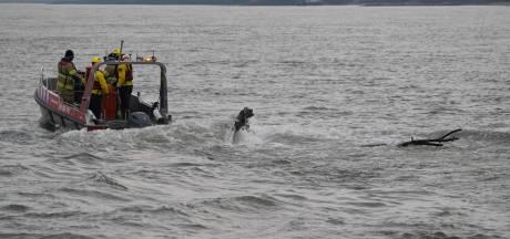 Enorme tak in de Rijn bij Pannerden zorgt voor gevaarlijke situatie voor scheepvaartverkeer