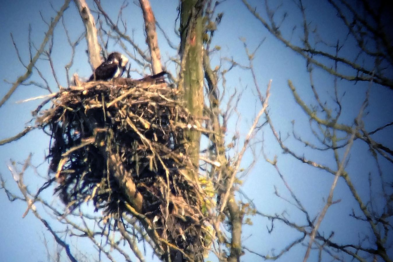 BIESBOSCH - Archieffoto 2017. Een visarend buigt over het nest waar zijn vrouwtje zit te broeden.
