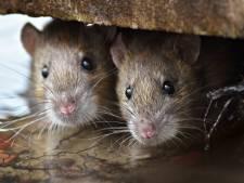 Muizen- en rattenplaag: ook keuken van kazerne Assen gesloten