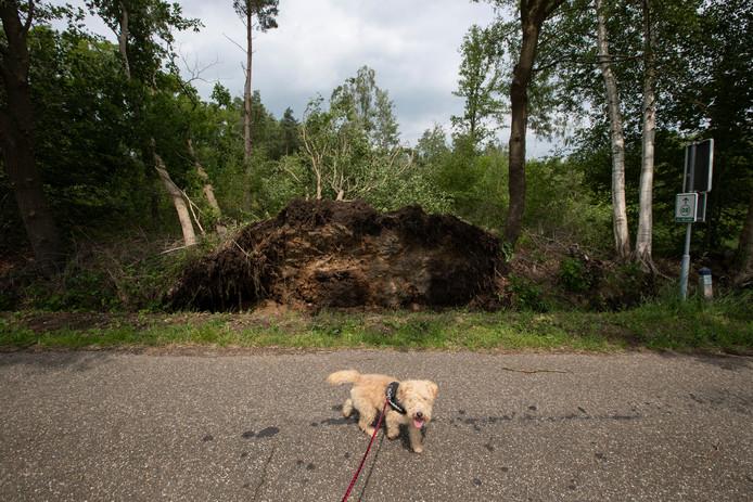 Ook in Oeken, zoals hier aan de Kaniestraat, knapten bomen door de storm af als luciferhoutjes.