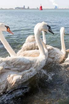 83 schone zwanen na olielek losgelaten in Hoek van Holland