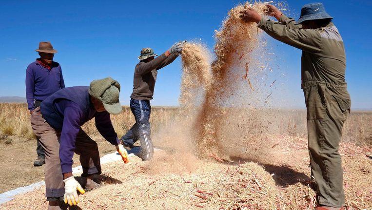 Quinoa-oogst in Bolivia Beeld REUTERS