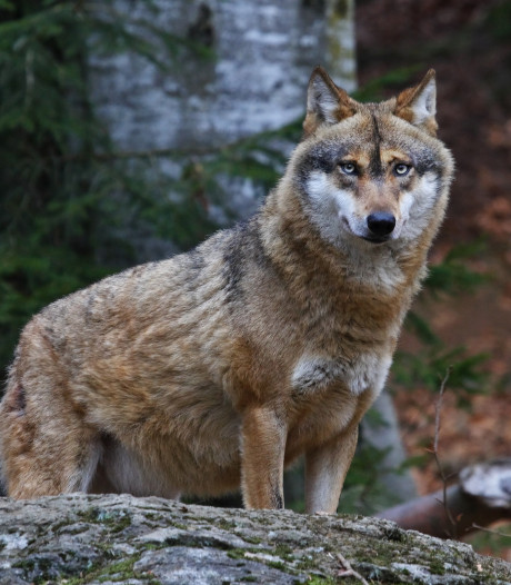 Gemist? Pleidooi voor afschot wolven en asbest bij brand in Eefde
