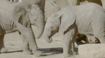VIDEO. Olifantenkalfjes spelen samen in de zoo