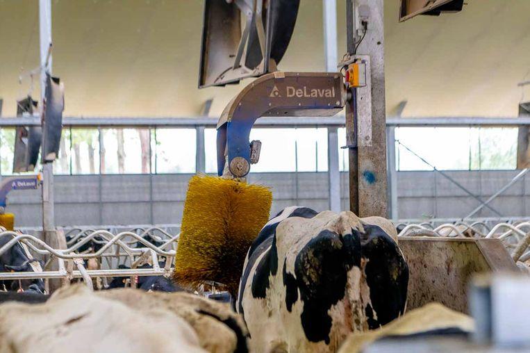 De koeien worden ook in de watten gelegd. Ze krijgen massages en slapen op matrassen.