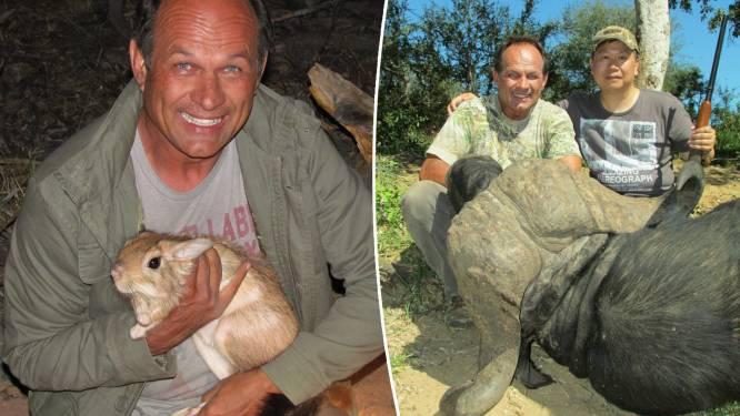 Jager laadt wilde buffel die hij net heeft geschoten op pick-up. En dan keert ander dier van kudde zich tegen hem
