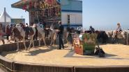 Werkgroep Dierenwelzijn niet te spreken over paardencarrousel op Countryfestival, schepen ziet geen probleem