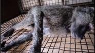 KU Leuven gebruikt achterpoortje in de wet voor gruwelijke proeven op bavianen