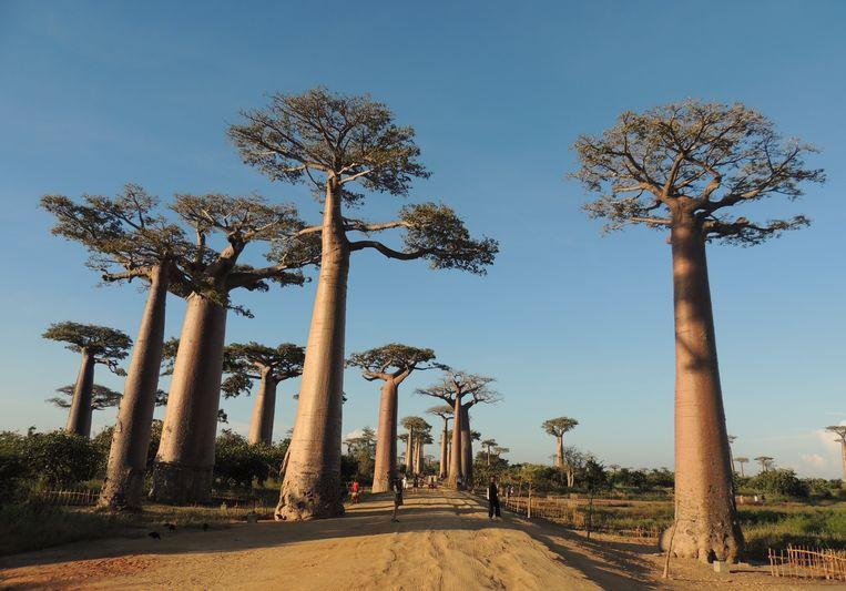 Allée des Baobabs bij zonsondergang. Beeld Niels Posthumus