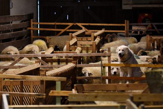 Pyrenese berghonden (op de foto rechts in de schaapskooi)  worden op de Sallandse Heuvelrug ingezet om de schapen te beschermen tegen de wolf