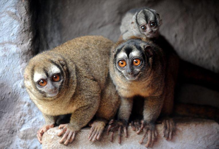 Bij nachtaapjes draagt het mannetje veel zorg voor het kroost. Ze worden net zo oud als de vrouwtjes, soms zelfs ouder. Beeld AFP