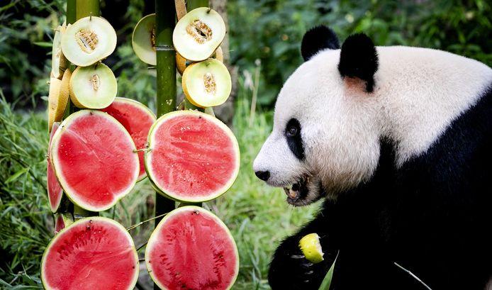 Panda Xing Ya viert zijn zesde verjaardag in Ouwehands Dierenpark.