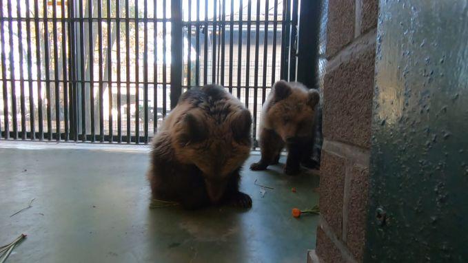 Twee van de dood geredde weesbeertjes aangekomen in ons land