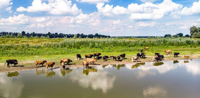 Runderen drinken uit de Kaliwaal bij Beneden-Leeuwen. De levers van drie grazers bleken te veel dioxine te bevatten.