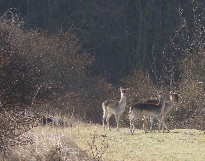 Damherten in natuurgebied De Manteling bij Oostkapelle.