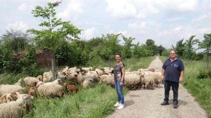 Alden Biesen, waar schapen thuis zijn