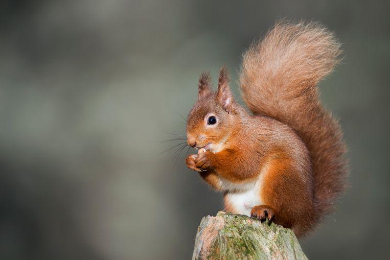 Onder de zoogdieren zijn aanrijdingen het meest desastreus voor de roodbruine eekhoorn.  Beeld Getty Images/ Westend61