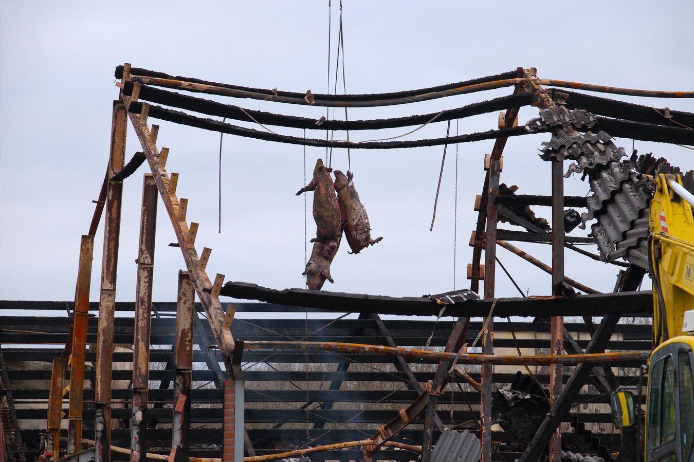De gruwelijke werkelijkheid van stalbranden in de varkenssector. Fotoserie genomineerd in de categorie Hedendaagse kwesties. Foto: Jack Tummers